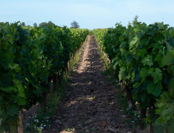 Bordeaux Walking tours Vines